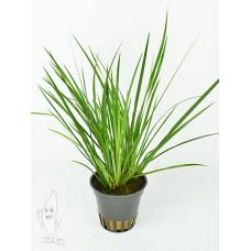 Acorus Gramineus Terrariumplanten