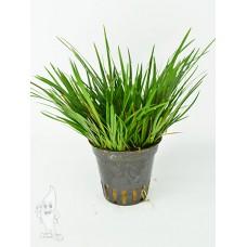 Acorus Gramineus pussilus Terrariumplanten