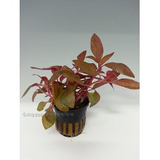 Alternanthera reineckii Achtergrondplanten