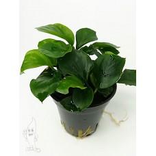 "Anubias barteri sp ""coin Leaf"" Middenzoneplanten"