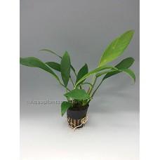 Anubias afzeli Achtergrondplanten
