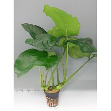 Anubias barteri Achtergrondplanten