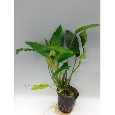 Anubias gracilis Middenzoneplanten