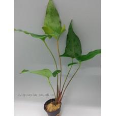 Anubias hastifolia Achtergrondplanten
