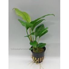 Anubias heterophylla Achtergrondplanten