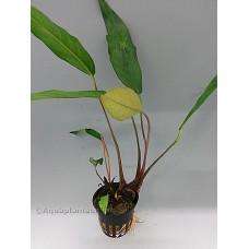 Anubias lanceolata Middenzoneplanten