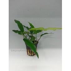 Anubias minima Middenzoneplanten