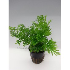 Ceratopteris siliquosa Achtergrondplanten