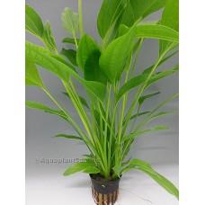 Echinodorus argentinensis Achtergrondplanten