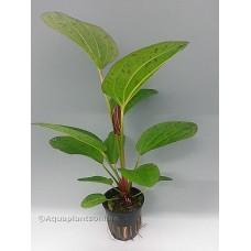 Echinodorus paul kloecker Achtergrondplanten