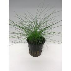 Eleocharis acicularis (Naaldgras) Voorgrondplanten