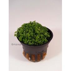 Hemianthus Callitrichoides Voorgrondplanten