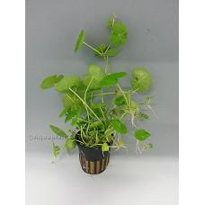 Hydrocotyle leucocephala Achtergrondplanten