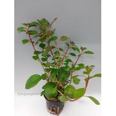 Ludwigia glandiosa Achtergrondplanten