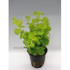 """Lysimachia nummularia """"aurea"""" Achtergrondplanten"""