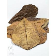 Catappa Leaves XL, 10 amandelboom bladeren