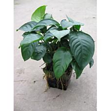 Anubias barteri, moederplant Planten XL